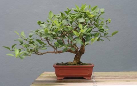 12-maneras-hermosas-de-tener-plantas-de-interior-bonsai