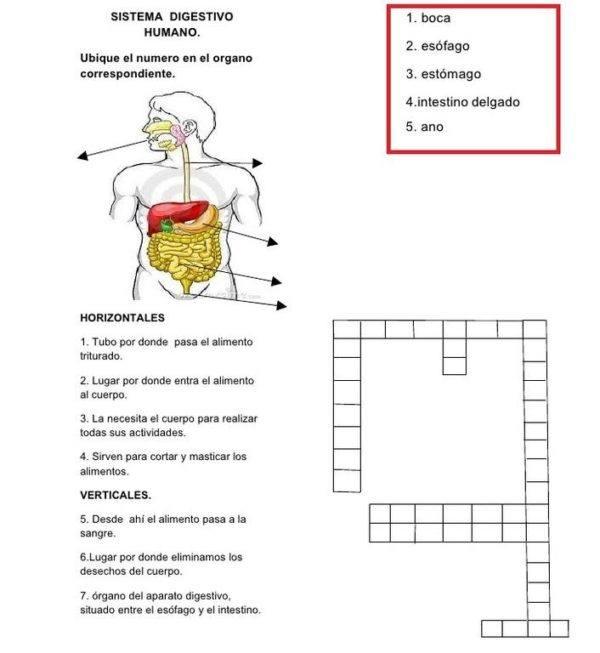 Manualidades del sistema digestivo para niños - Manualidades